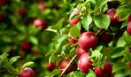 Ранньостиглі яблука: як обрати та виростити кращі сорта