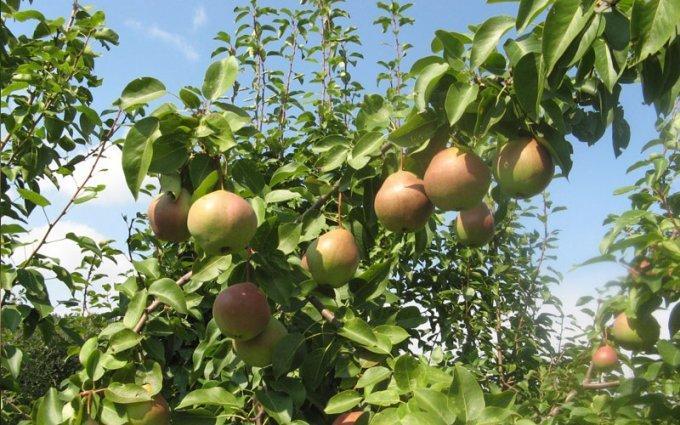 Как ухаживать за грушей: секреты садовода