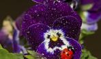 Анютины глазки: цветы разгневанных богов