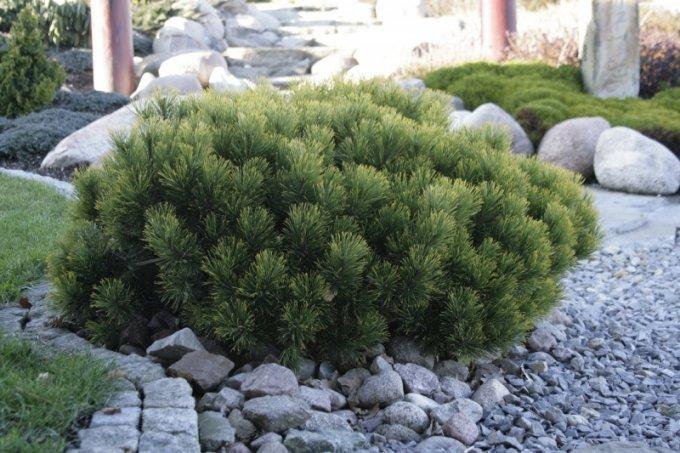 Горная карликовая сосна: 23 сорта, идеальных для сада