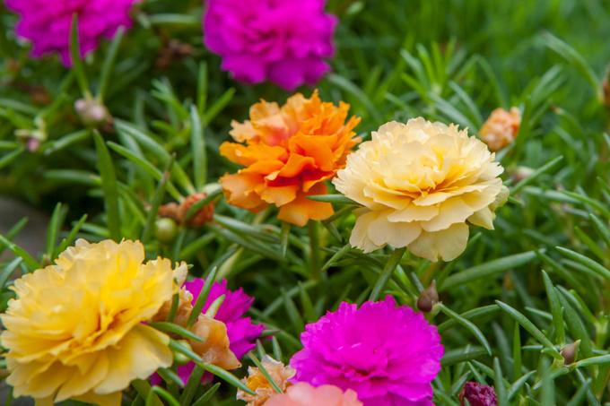 Секреты уютного сада: выращиваем портулак