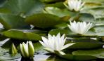 Красавицы кувшинки: как сделать пруд цветущим садом