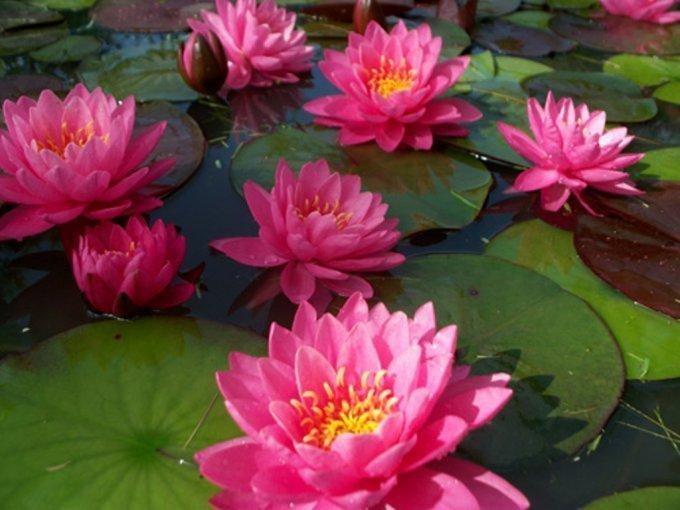 Красавицы кувшинки: как сделать пруд цветущим
