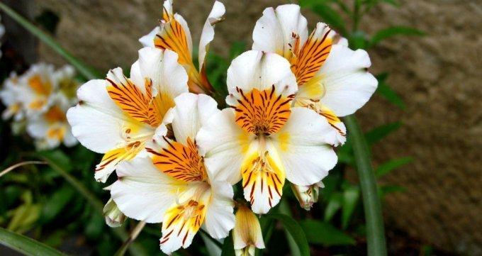 Справочник садовода: альстромерия – лилия инков