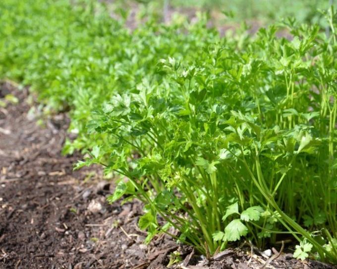 Пряные травы: что надо знать о посадке