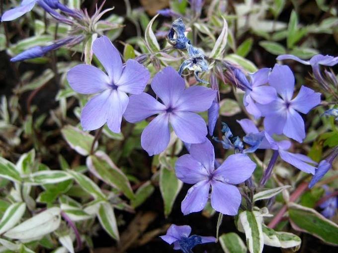 Пышное украшение сада: весенние флоксы
