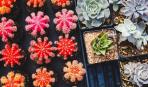 В Киеве пройдет масштабная выставка кактусов