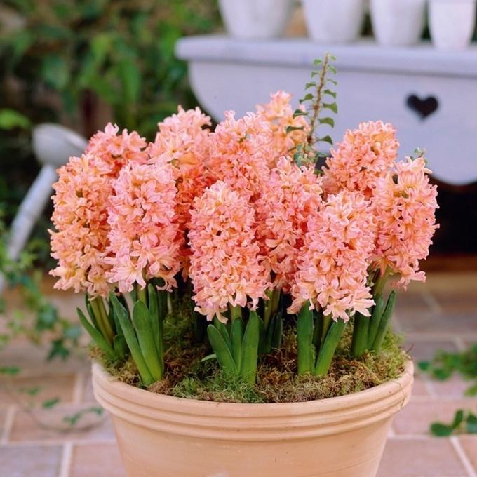 Цветок дождей: гиацинт в саду