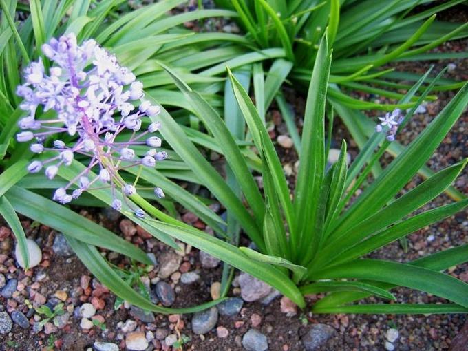 Весенняя нежность: особенности выращивания пролески
