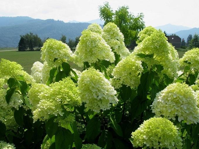 Гортензия садовая: морозостойкие сорта