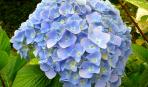 Гортензия: секреты садовой королевы