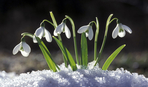 Самые первые весенние цветы: ТОП-10 видов