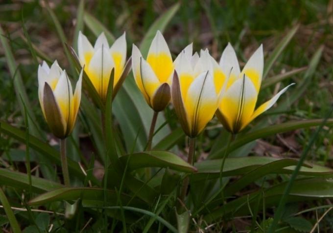 Топ-7 наикрасивейших тюльпанов