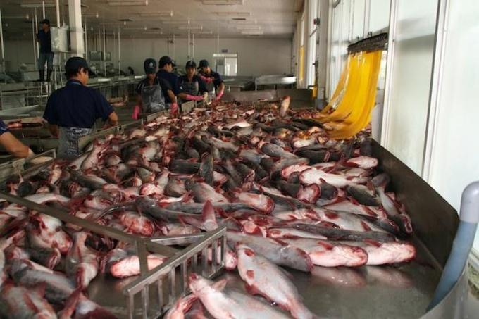 Пангасиус: почему эта рыба опасна для здоровья