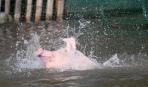 В Китае изобрели уникальный способ улучшить свинину