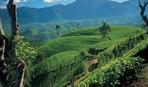 А вы знали как появился цейлонский чай?
