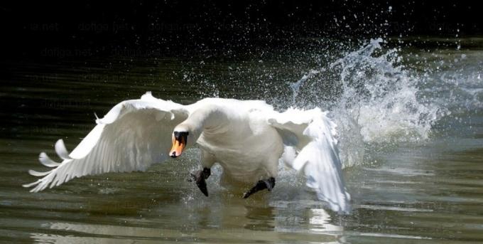 Лебедя «заказывали»?