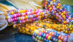 Кукуруза всех цветов радуги - находка американского фермера