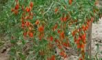Выращивание годжи в саду