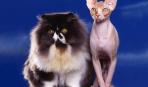 Кошка в доме: выбираем комфортное животное