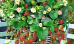 5 идей вертикальной посадки садовой земляники