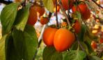 Методика выращивания хурмы из косточки