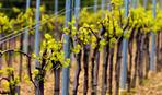 Как заготовить черенки винограда и не наделать ошибок
