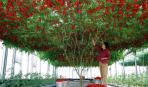 Завораживающая красота: ампельные помидоры