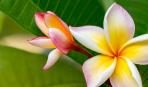Плюмерия: цветок, что не горит в огне