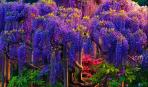 Глициния: цветок из пасти дракона