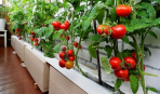 Помидорчик на балкончик: урожай без огорода