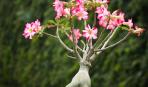 Адениум: зловещая роза пустыни