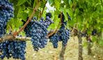 Сколько стоит виноградник и как сэкономить на его обустройстве