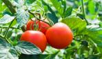 Богатый урожай: подкормка помидоров