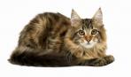 Летняя линька у кошек
