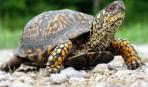 Как содержать дома степную черепаху?