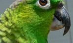 Уход за клювом и когтями попугая