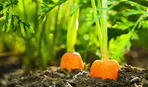 Як правильно садити моркву - від підготовки грунту і насіння до перших сходів