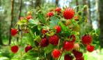 Земляника садовая: практические советы по выращиванию