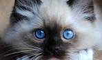 Весенняя линька у кошки: все, что нужно знать начинающему котоводу