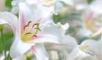 Когда лучше сажать лилии: рекомендации садоводов