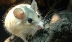 Акомис: содержание и уход за иглистыми мышами
