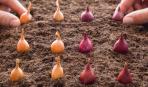 Неприхотливый лук-севок: правила посадки и ухода