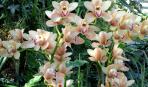 Выращивание садовых орхидей