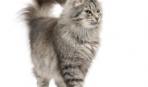 Как определить настроение кошки по хвосту