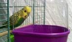 Купание волнистых попугаев