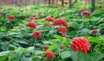 Выращивание женьшеня и аралиевых в комнатных условиях