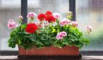 Лекарственные свойства комнатных растений
