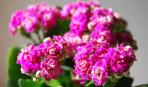 Каланхоэ перистое: выращиваем и лечимся