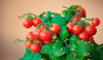 Огород на подоконнике: выращивание томата черри